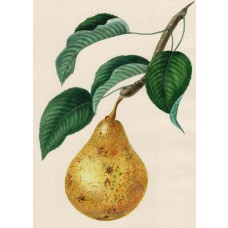 Handcolored lithograph, Pear